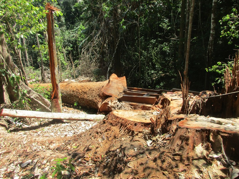 Patrollers from the Indigenous Santa Rosillo de Yanayaku community recorded illegal logging on their land and sent photos to the Specialized Prosecutor's Office for Environmental Matters (FEMA) of Yurimaguas. Image courtesy of anonymous source.