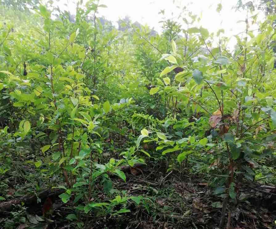 Coca crops near the Anak Kurutuyaku community. Image courtesy of anonymous source.