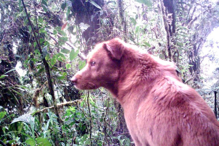 Perro captado en cámara trampa en ecosistema silvestre de Ecuador. Foto: Galo Zapata-Ríos.