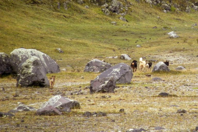 Perros sin supervisión deambulan por los páramos de Ecuador. Foto: Galo Zapata-Ríos.