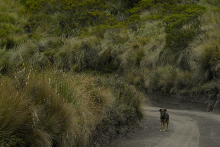 Perros asilvestrados y domésticos sin supervisión entran en contacto con fauna silvestre y pueden generar problemas. Foto: Galo Zapata-Ríos.