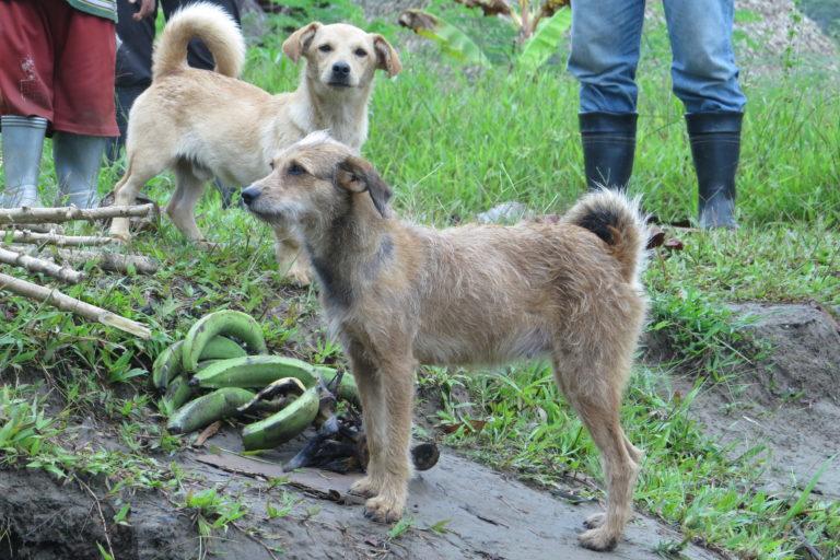 Perros que deambulan sin supervisión en zonas silvestres de Ecuador. Foto: Galo Zapata-Ríos.