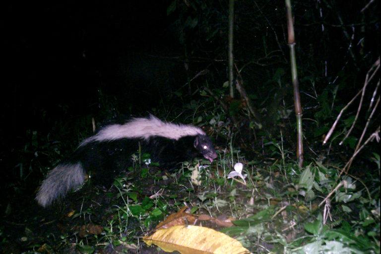 Zorrillo de espalda blanca captado en cámara trampa en Ecuador. Foto: Galo Zapata-Ríos.