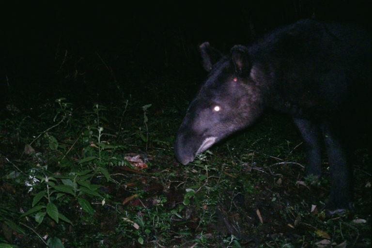 Tapir de montaña captado en cámara trampa en Ecuador. Foto: Galo Zapata-Ríos.