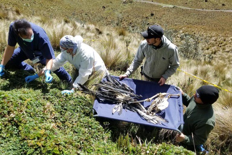Los cóndores muertos por envenenamientos como consecuencia derivada del envenenamiento de perros empezaron a repetirse desde el año 2018 en Ecuador. Esta es la amenaza más fuerte sobre la especie en este país. Foto: Fundación Cóndor Andino.