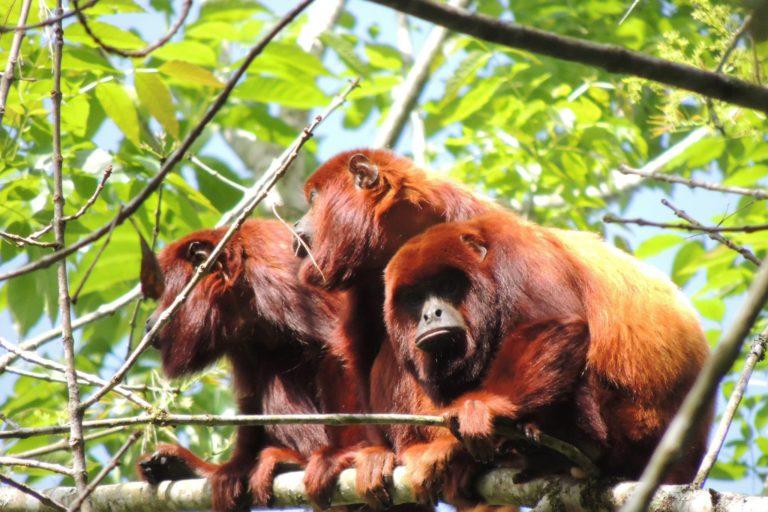 Monos en el Santuario de Fauna y Flora Otún Quimbaya. Foto: cortesía Yarumo Blanco.