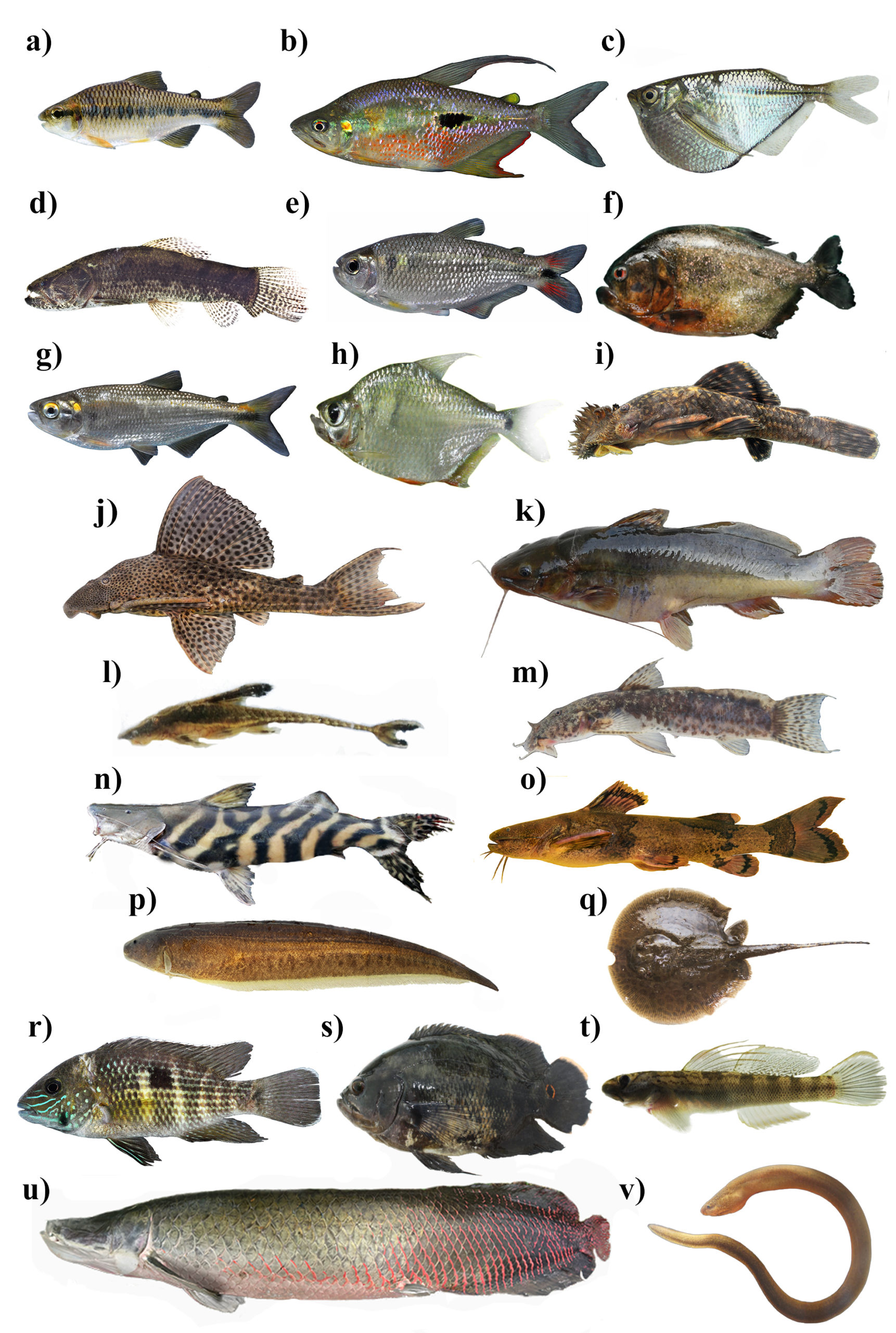 Peces de agua dulce ecuatorianos. (a) Creagrutus kunturus, (b) Rhoadsia menor, (c) Gasteropelecus maculatus, (d) Hoplias malabaricus, (e) Eretmobrycon sp., (f) Pygocentrus nattereri, (g) Brycon sp., (h) Tetragonopterus argenteus, (i) Ancistrus clementinae, (j) hipóstomo cf. niceforoi, (k) Rhamdia cinerascens, (l) Sturisomatichthys frenatus, (m) Astroblepus sp., (N) Brachyplatystoma juruense, (o) Pseudopimelodus bufonius, (p) Brachyhypopomus palenque, (q) Potamotrygon motoro, (r) Andinoacara rivulatus, (s) Astronotus ocellatus, (t) Sicydium sp., (U) Arapaima gigas, (v) Synbranchus marmoratus.