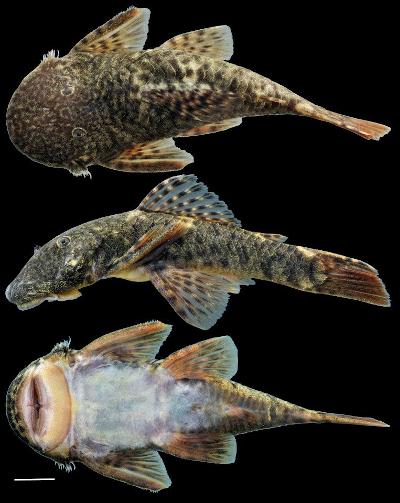 Cordylancistrus santarosensis. Foto: cortesía Windsor Aguirre.