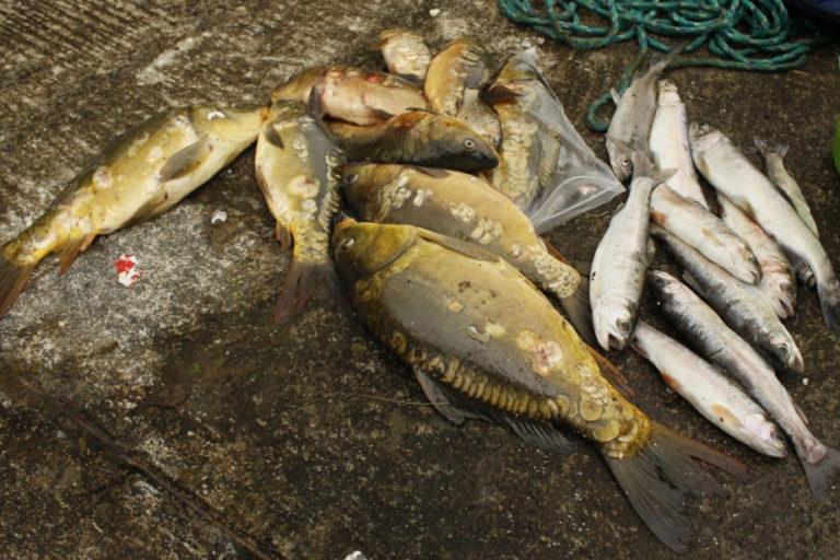 La carpa Cyprinus carpio es una especie ampliamente introducida, mientras que la trucha arco iris, Oncorhynchus mykiss, es un pez importante para el deporte y la alimentación que es muy común en los arroyos andinos fríos y de gran altitud. Foto: cortesía Windsor Aguirre.