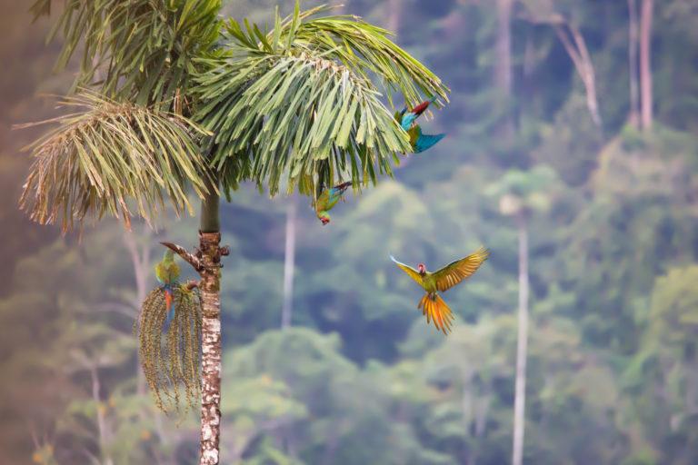 Guacamaya verde (Ara militaris). Foto: ©Pablo Mejía - WWF Colombia.