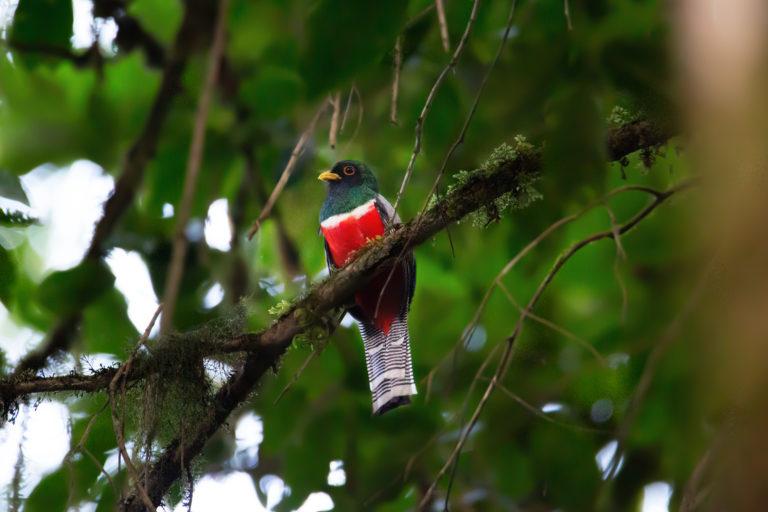 Trogon collaris. Foto: ©Pablo Mejía - WWF Colombia.