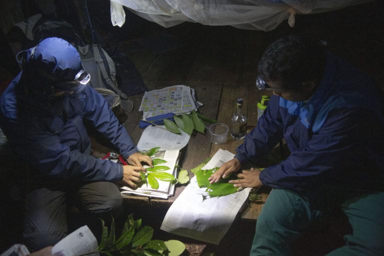 Los biólogos analizan las plantas encontradas. Ya trabajan en la descripción de una nueva especie. Foto: ©Pablo Mejía - WWF Colombia.