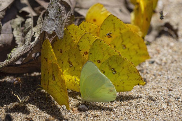 En la expedición se recolectaron ejemplares de cerca de 370 especies de mariposas. Foto: ©Pablo Mejía - WWF Colombia.