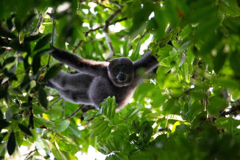 Mono churuco (Lagothrix lagotricha). Foto: ©Pablo Mejía - WWF Colombia.