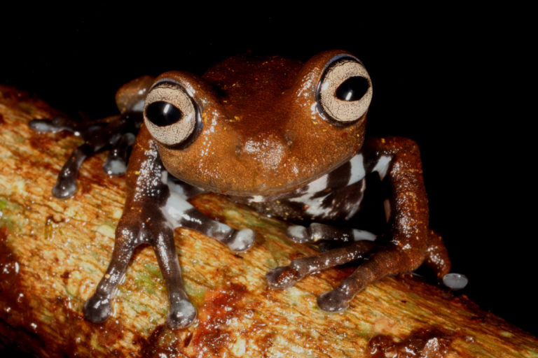 Las ranas están entre los animales más susceptibles al cambio climático. Foto: cortesía Mauricio Ortega.