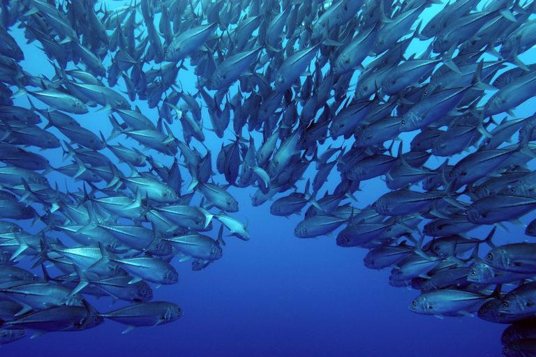 Peces en el mar cerca a Isla del Coco, Costa Rica. Foto: Sterling Zumbrunn.