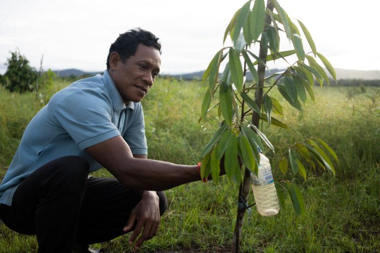 Yea Chieu, de 47 años, inspecciona un árbol de durian en la comuna de Chi Kor Loeu, provincia de Koh Kong, en las 1,5 hectáreas de tierra que le dio como compensación la empresa azucarera KSL con sede en Tailandia. Su familia es una de las 200 familias involucradas en el caso Tate & Lyle. Foto: Andrew Ball / Panos / Global Witness.