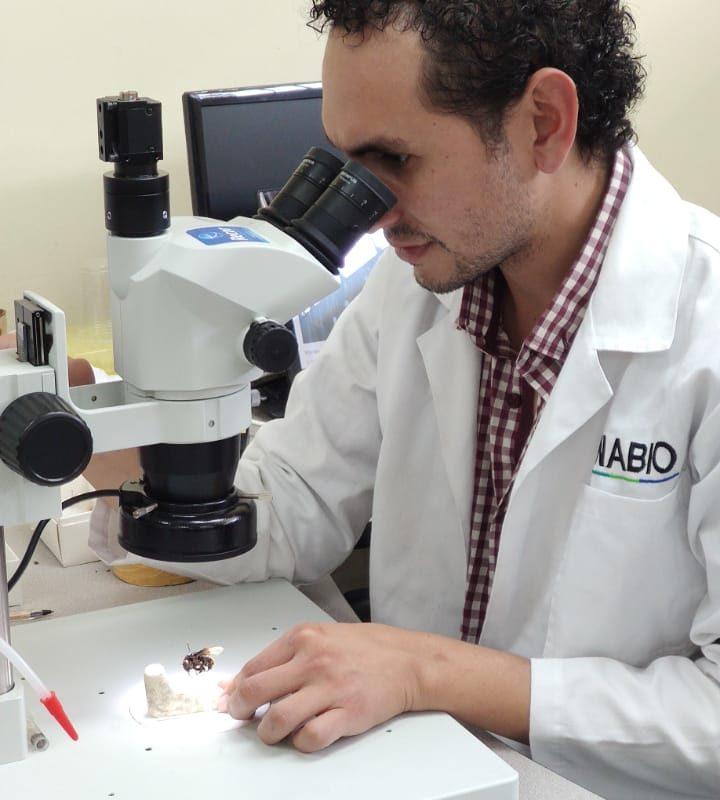 El investigador Alex Pazmiño-Palomino examinando a la abeja andrógina descubierta en Ecuador. Foto: Archivo particular.