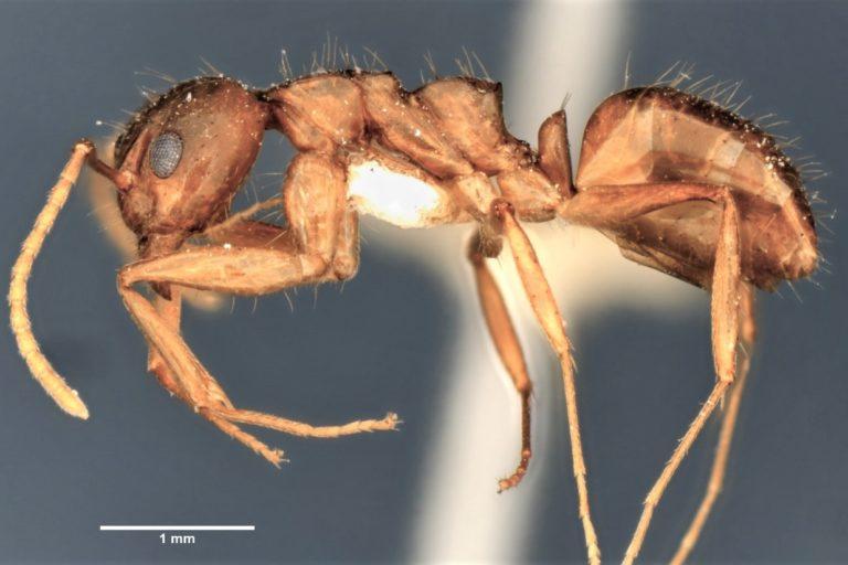 Dolichoderus utriensis. Especie de hormiga muy rara encontrada en el Chocó biogeofráfico de Colombia y Ecuador. Foto: Cortesía Alex Pazmiño.