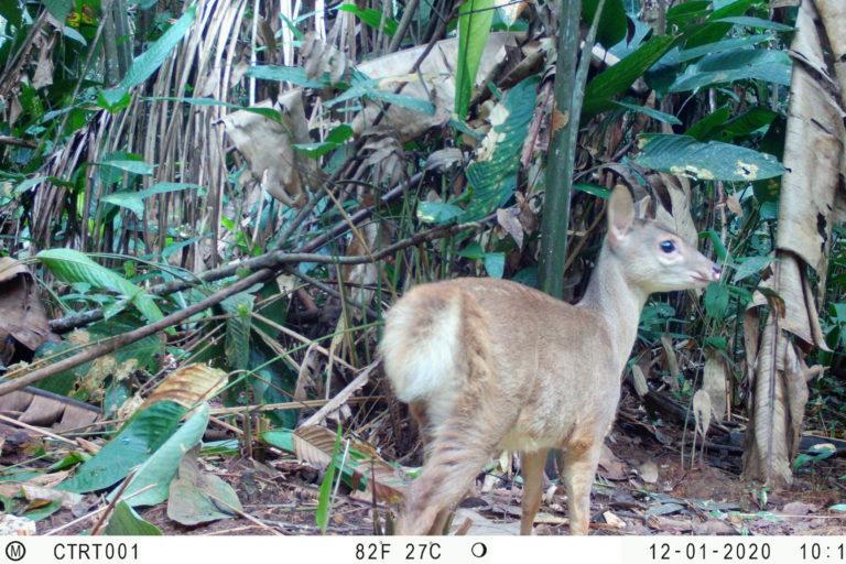 Venado de cola blanca. (Odocoileus virginianus). Foto: Instituto Humboldt Colombia.