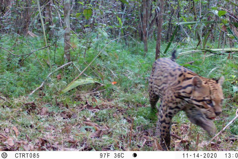 Ocelote. (Leopardus pardalis). Foto: Instituto Humboldt Colombia.