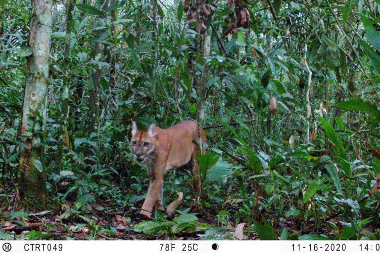 Puma. (Puma concolor). Foto: Instituto Humboldt Colombia.