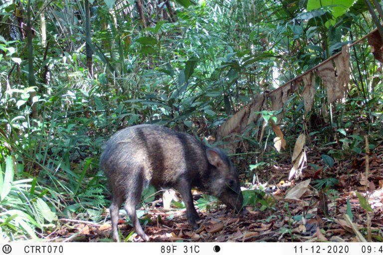 Pecarí de collar. (Dicotyles tajacu). Foto: Instituto Humboldt Colombia.