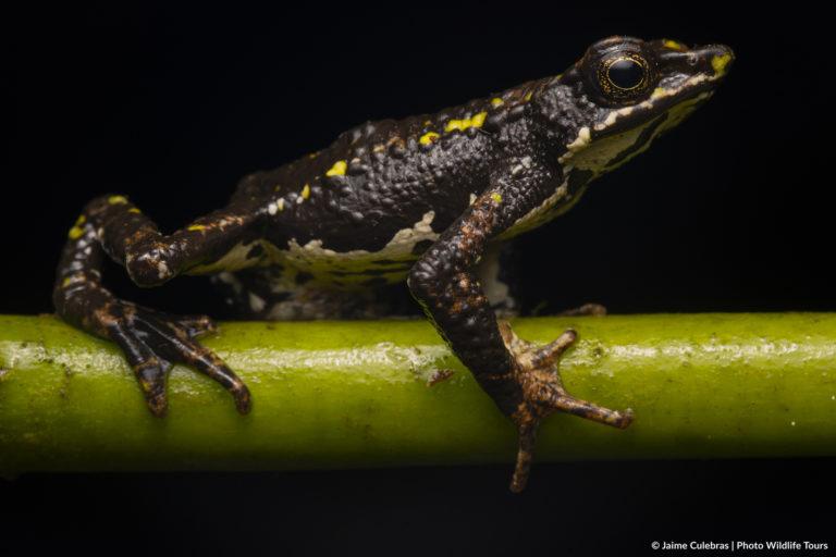 Atelopus laetissimus. Foto: Jaime Culebras/Photo Wildlife Tours.