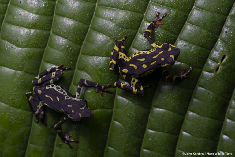 Atelopus spumarius. Foto: Jaime Culebras/Photo Wildlife Tours.