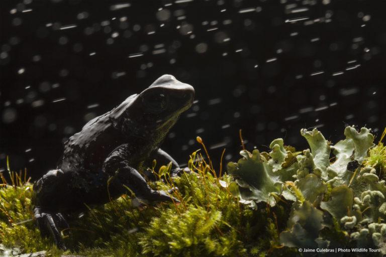 Atelopus nanay. Foto: Jaime Culebras/Photo Wildlife Tours.
