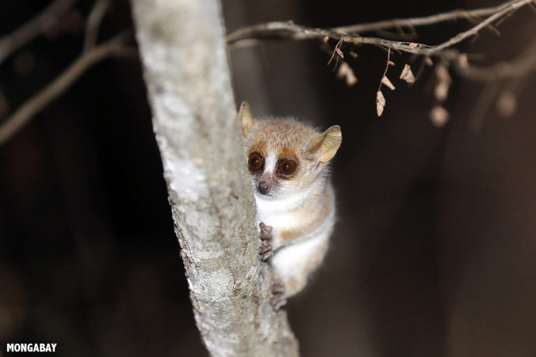 Madagascar's lemurs susceptible to coronavirus infection