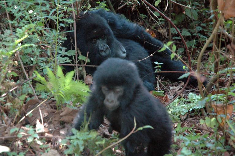 Une maman singe observant son bébé