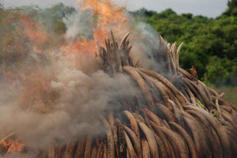 Destroying confiscated elephant tusks in Kenya: wave of poaching swept across East and Southern Africa a decade ago. Tanzania lost more than half its elephant population between 2009 and 2014. Image by Kamweti Mutu via Flickr (CC BY-NC-ND-2.0)