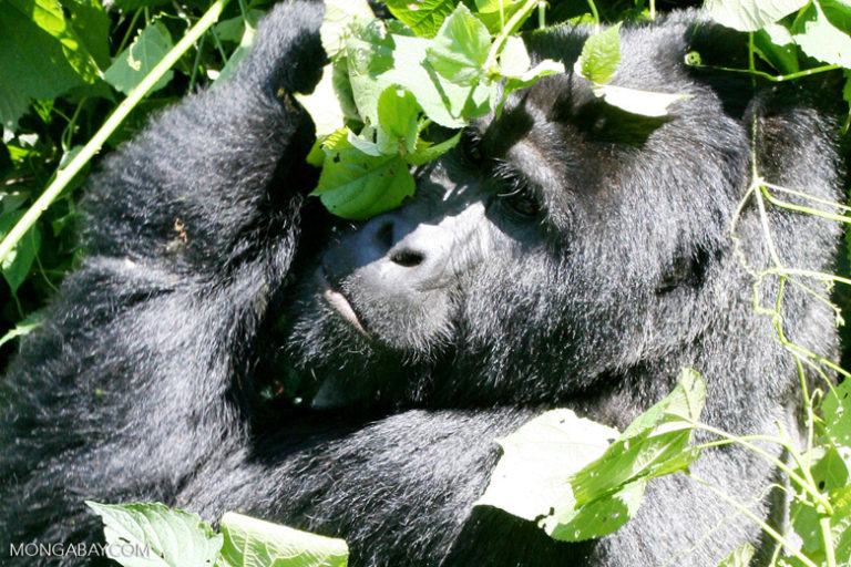 Le gorille de montagne (Gorilla beringei beringei) est une sous-espèce du gorille de l'Est et se trouve dans cinq zones protégées en RDC, au Rwanda et en Ouganda. Image de Rhett Butler pour Mongabay.
