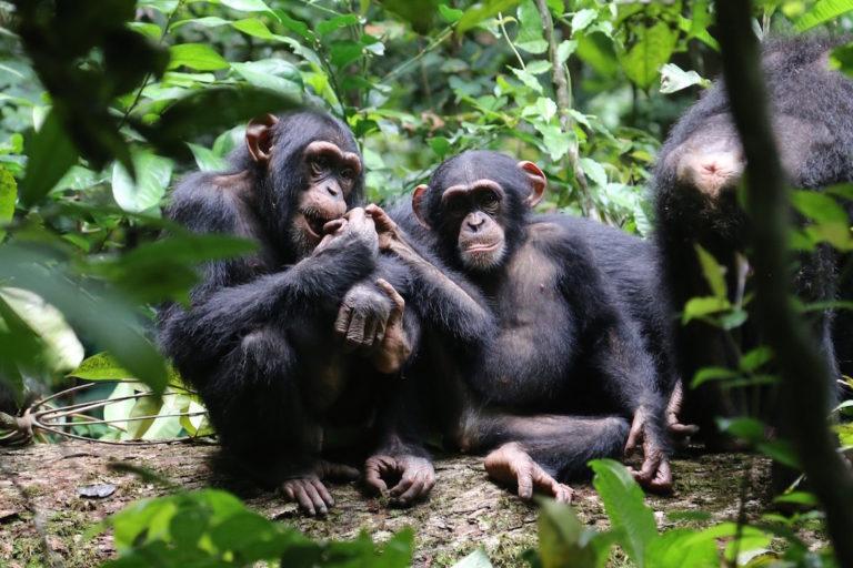 Le chimpanzé d'Afrique de l'Ouest est la plus menacée des quatre sous-espèces connues. Crédit photo : Liran Samuni/Tai Chimpanzee Project.
