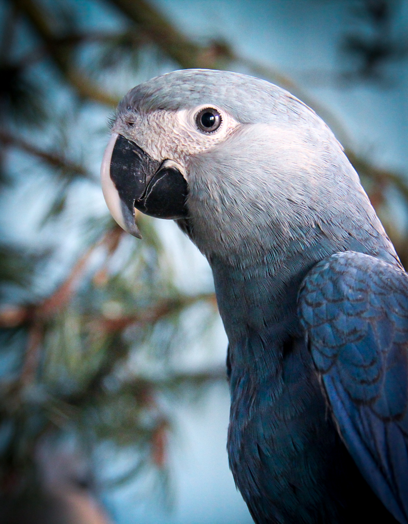 Spix's macaw returns to Brazil, but is overshadowed by controversy