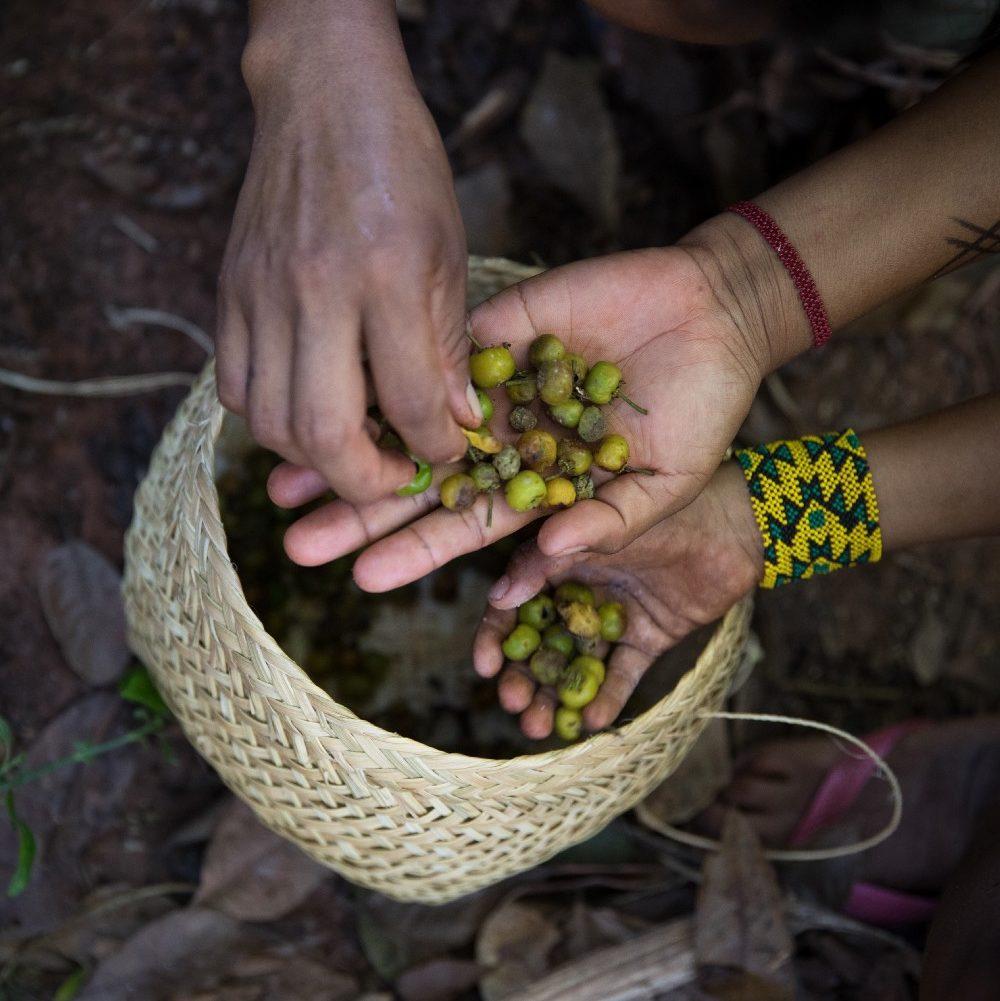 Um milhão de árvores já brotaram na bacia do Xingu graças às indígenas que coletam sementes para reflorestar a floresta derrubada pelos brancos