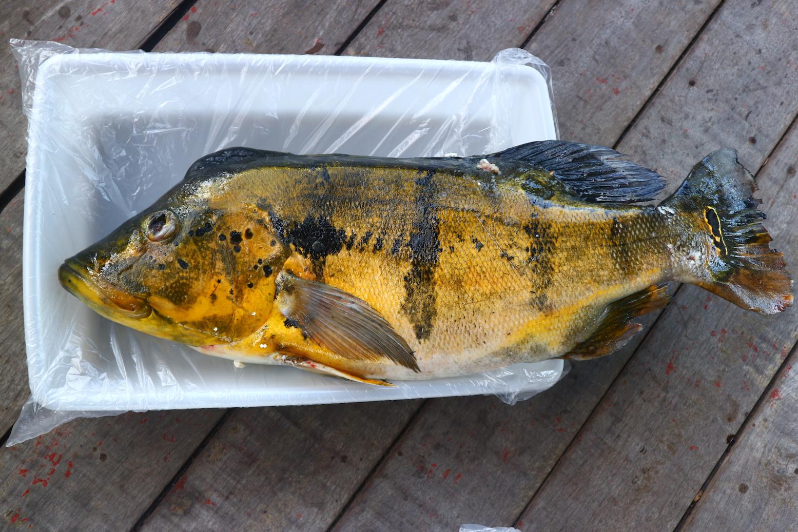 Peixes mais consumidos por indígenas e ribeirinhos do Amapá contêm altíssimas concentrações de mercúrio