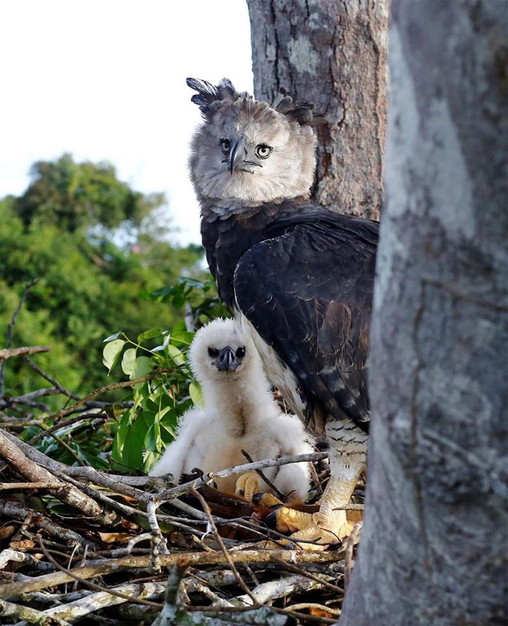 Espécies de árvores usadas por harpias para seus ninhos estão entre as mais derrubadas por madeireiros