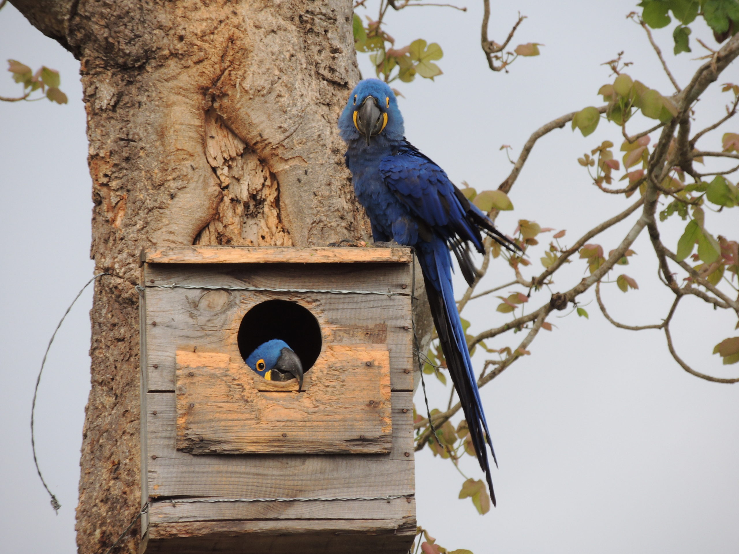 A pair of hyacinth macaws in an artificial nest. Conservation projects in the Pantanal have helped boost the population of the species. Image by Fernanda Fontoura.