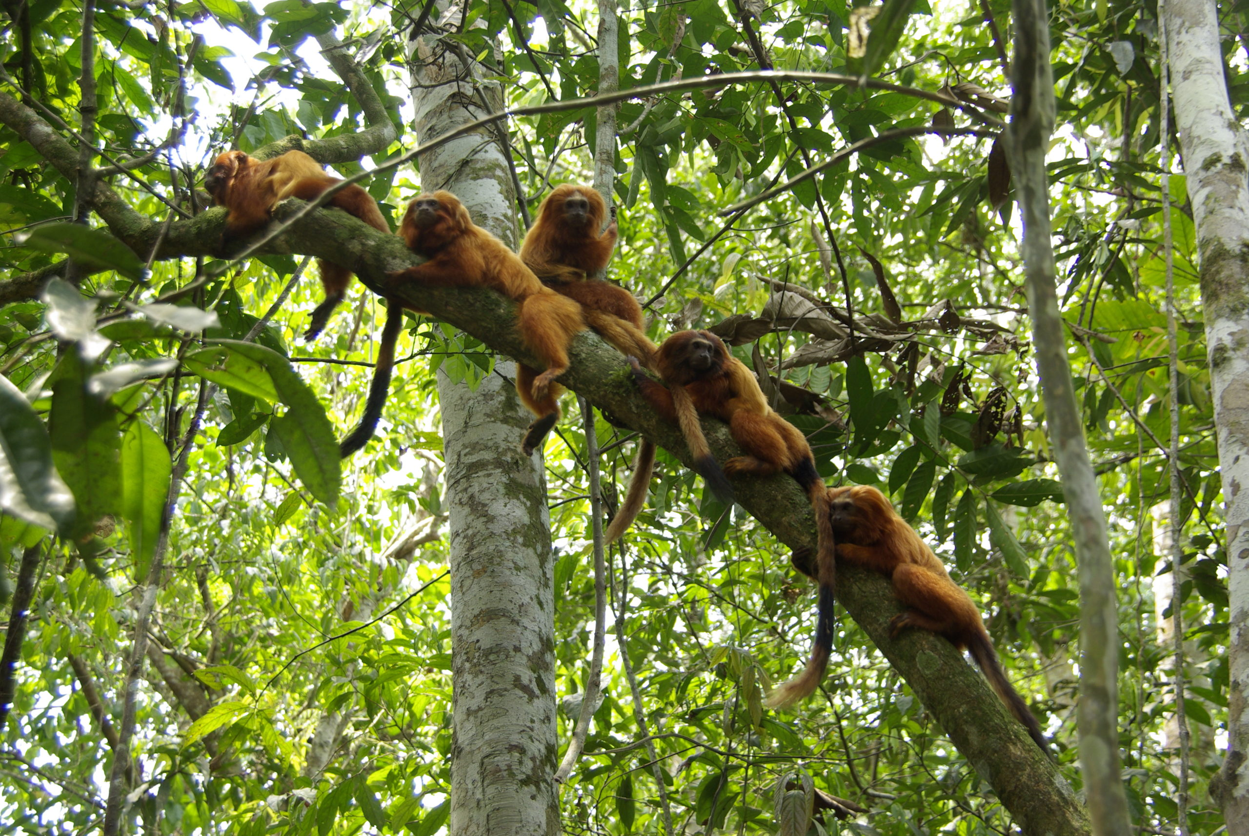 There are an estimated 2,500 golden lion tamarins living in the wild today. As fears of a new wave of trafficking emerge, the Associação Mico-Leão-Dourado is focusing on creating a 25,000-hectare (62,000-acre) corridor of protected forests for the species. Image by Andreia Martins/AMLD.