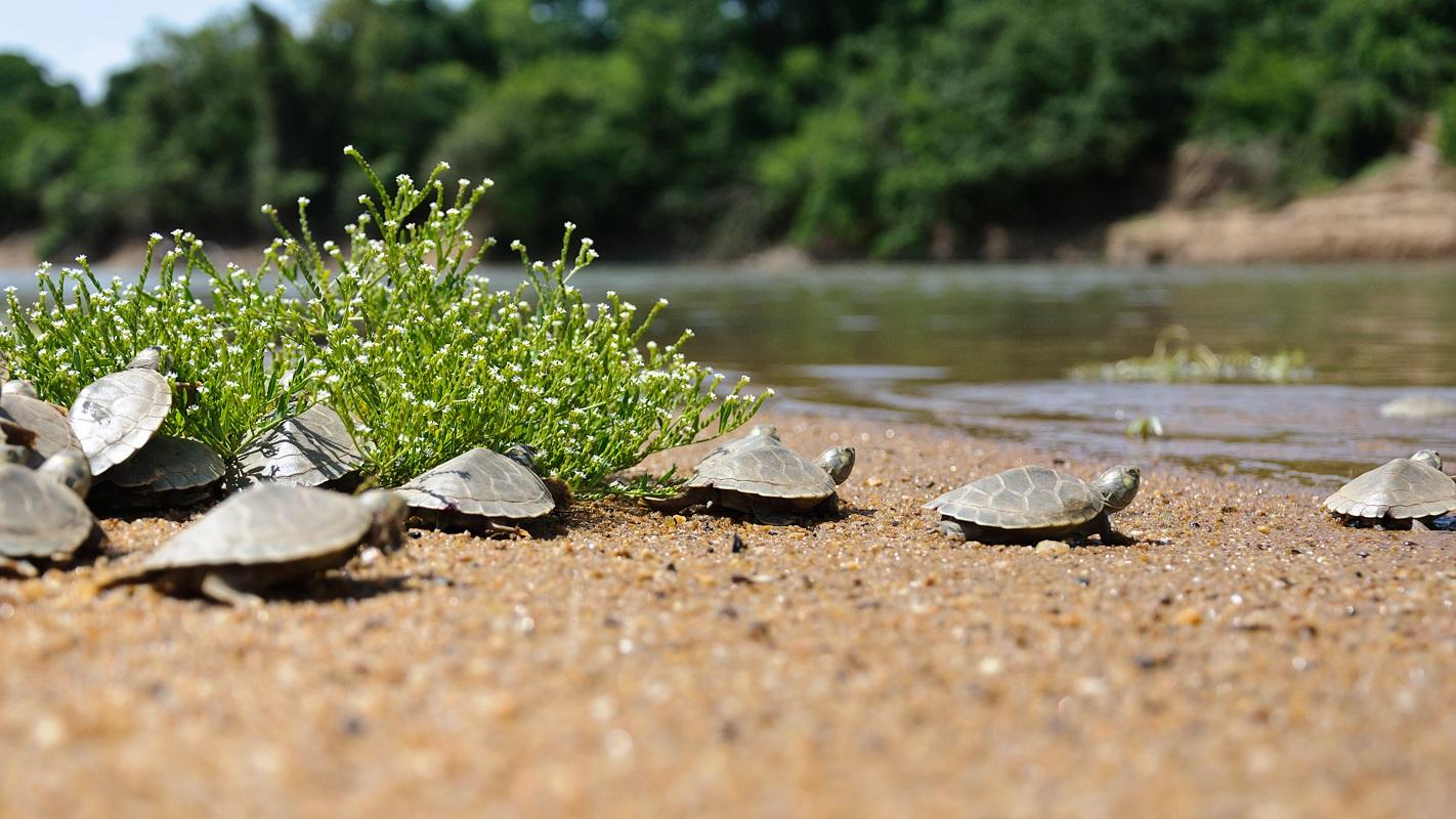 Mais de 100 mil filhotes de tartarugas-da-amazônia nascem em 2020, número recorde observado em Tocantins