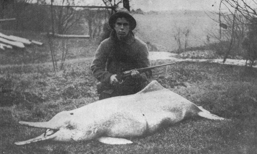 In this photo from 1914, U.S. naturalist Charles M. Hoy poses with a freshly killed baiji river dolphin in China. The species is now considered extinct. Image in the public domain.