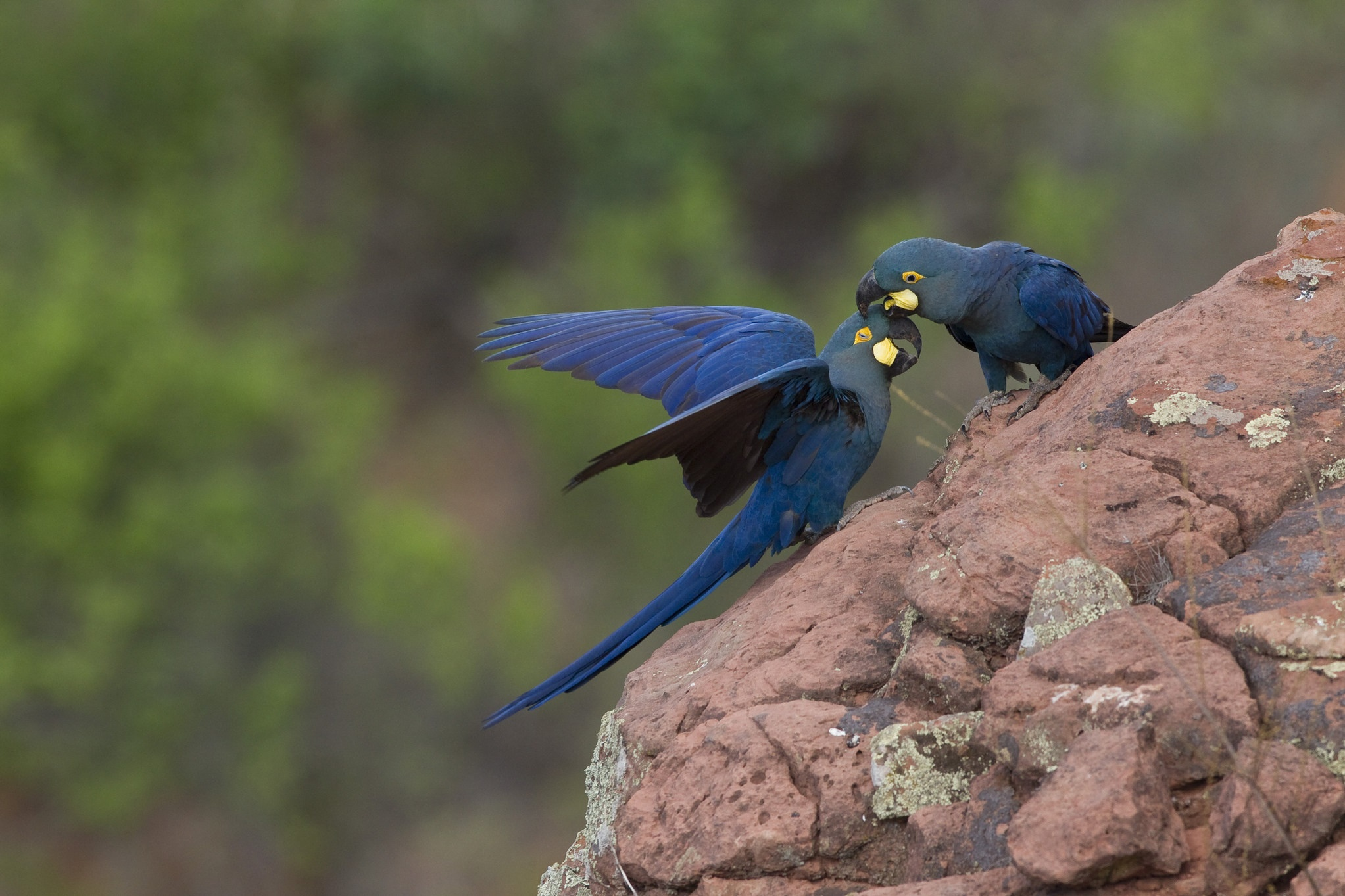 Thanks to conservation projects in Bahia's Caatinga region, the Lear's macaw population has increased from 228 to nearly 1,500 individuals in 20 years. Image by João Marcos Rosa.