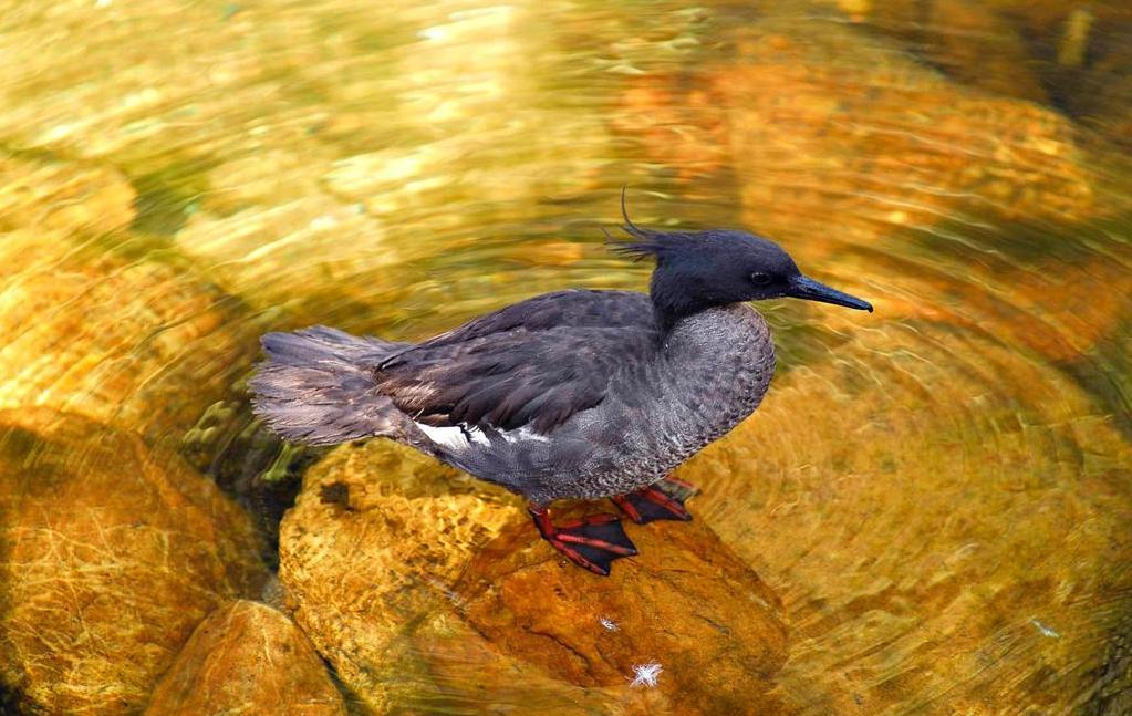 Símbolo das águas brasileiras, pato-mergulhão está entre as dez aves mais ameaçadas do mundo