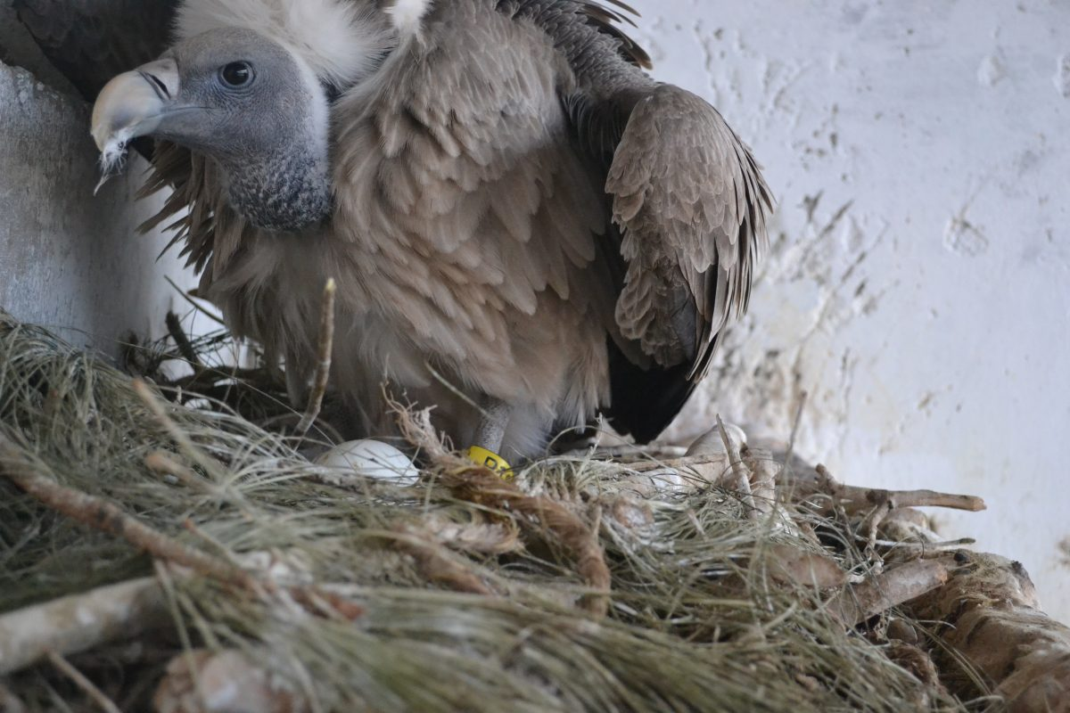 A long-billed vulture nesting at the Jatayu Centre. (Photo credit: Nikita Prakash)