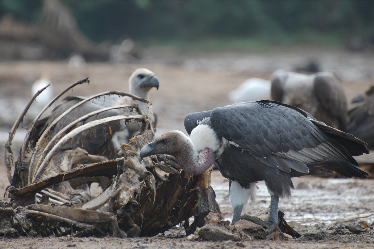 Ecosystem services provided by the vultures. (Photo credit: Nikita Prakash)