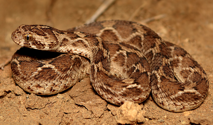 A saw-scaled viper, which is hard to see but has a fatal bite. Photo credit: Krishna Khan Amravati / Wikimedia Commons.