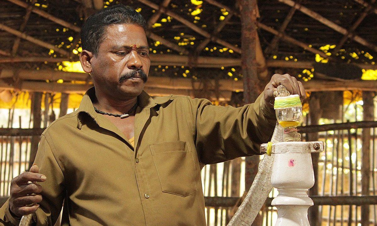An Irula Cooperative Society member shows how venom is extracted. Photo credit: Karthikeyan Hemalatha.