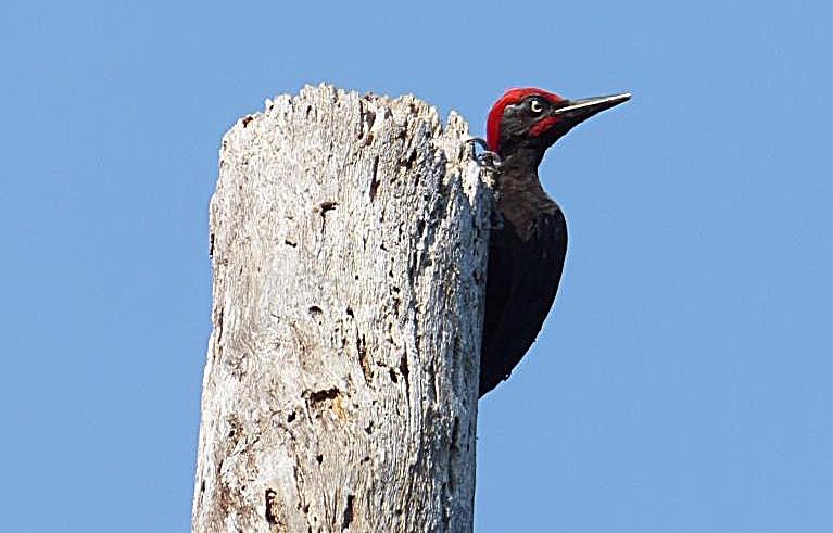 The Andaman woodpecker. Photo credit: ZSI